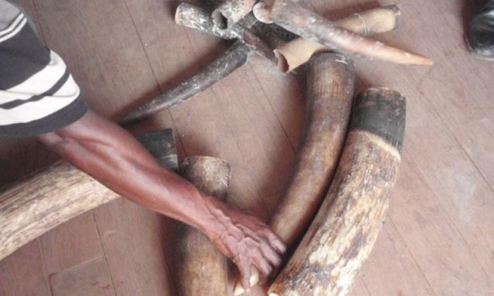 偷猎象牙导致森林大象成易危物种。