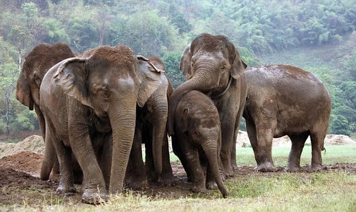 非洲森林象或在10年内绝种 每年有1.2万至1.5万头被猎杀盗取象牙