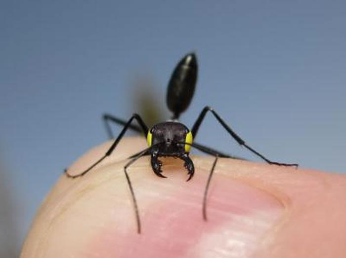 Cataglyphis双色沙蚁的眼部被腹测蒙住。
