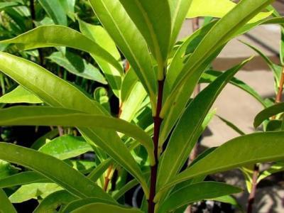 美国夏威夷发现两种原定为已灭绝的植物:Mark's Cyanea和荛麦