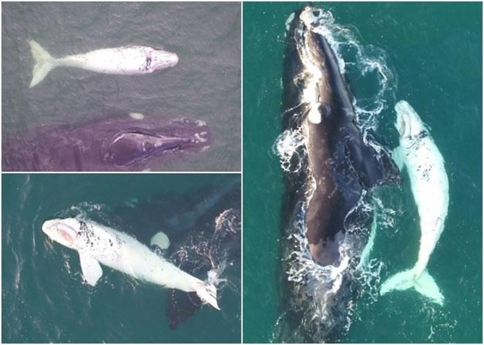 团队拍到白色南露脊鲸幼鲸的踪影。
