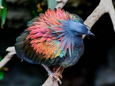 没有天敌 尼科巴鸽子展现七彩羽毛