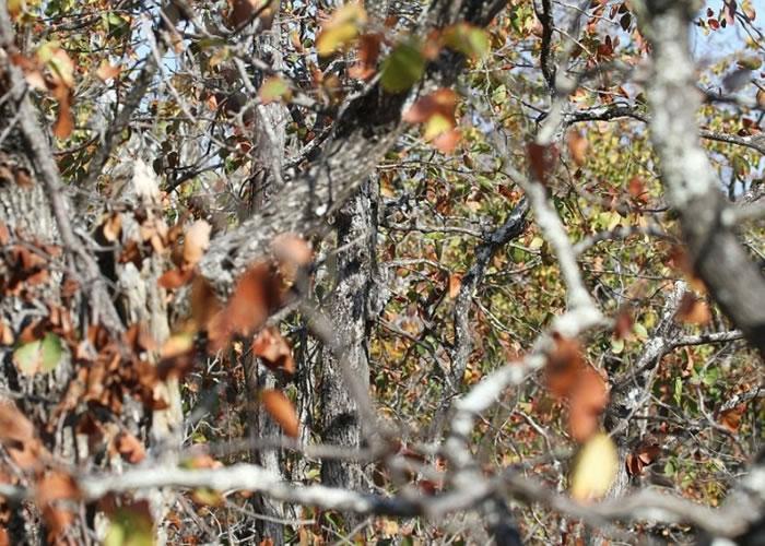 藏在丛林中的非洲角鸮。