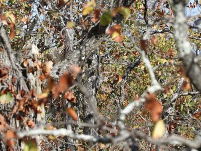 隐密在南非丛林中的非洲角鸮