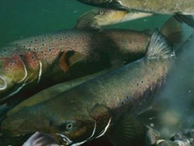 冰河时期的古人类并不完全依赖捕猎大型哺乳动物 对鲑鱼有很强的需求