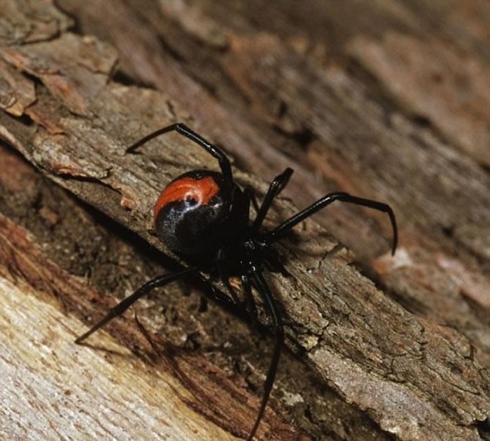 常出现于澳洲的红背蜘蛛,能使被咬的人肌肉无力。