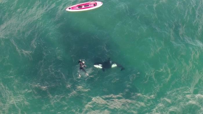 新西兰奥克兰北岸军湾两条杀人鲸对人类尽展友善一面