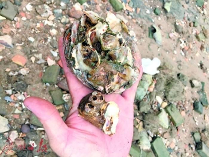 在老沙岛发现的牡蛎壳和藤壶。