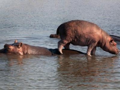南非旱情严重 动物园出手杀350河马水牛