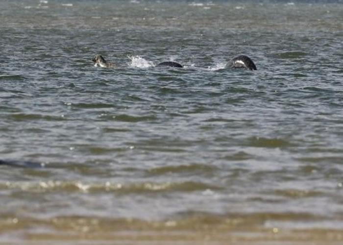 """照片所见,长长的银黑色物体在平静的水中""""游动""""。"""