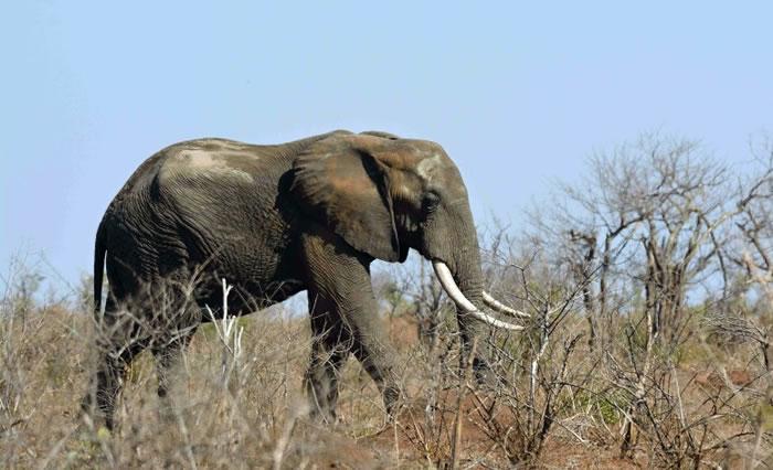 资料图:南非国家公园内的大象。