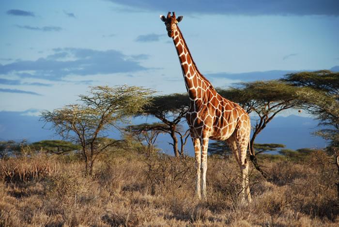 科学家DNA分析确认世界上有4种长颈鹿:南方、马赛、网纹和北方