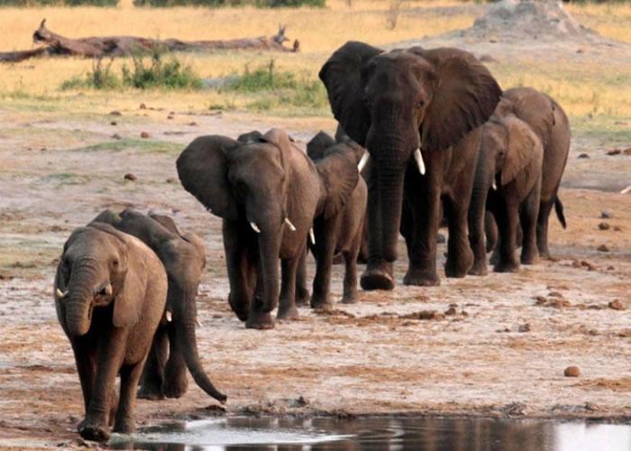 津巴布韦象群经过一个水坑。