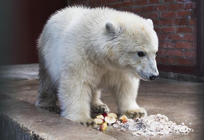俄罗斯北极熊孤儿Nika落脚莫斯科动物园