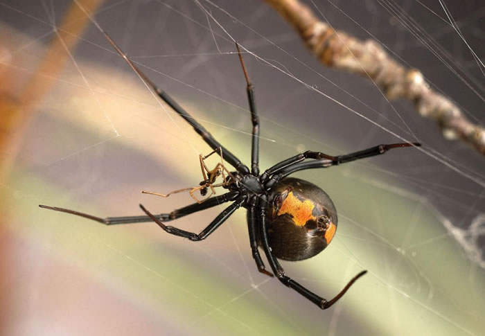 """公蜘蛛为避免成为""""黑寡妇""""母蜘蛛的食物 现在专找""""未成年""""母蜘蛛交配保命"""