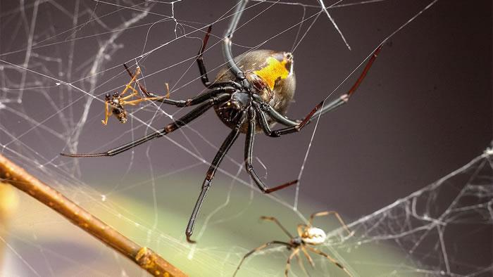 """公蜘蛛为避免成为""""黑寡妇""""母蜘蛛的食物,现在专找""""未成年""""母蜘蛛交配保命"""