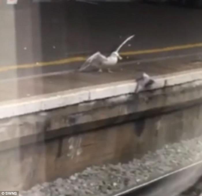 英国地铁月台上海鸥活生生吃掉白鸽