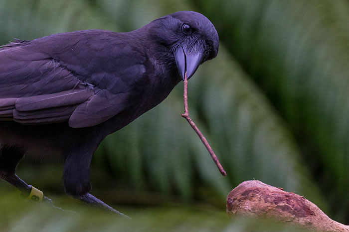 """夏威夷乌鸦""""阿拉拉""""会非常灵活地使用树枝钩取树洞中的幼虫"""