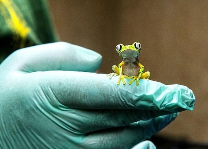 英国的动物园成功繁殖多只狐猴叶蛙。
