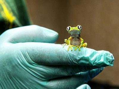 英国动物园利用人工雨水成功繁殖出10只极濒危物种狐猴叶蛙