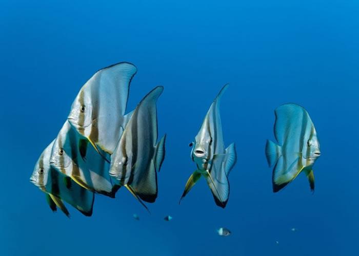 深海多种鱼类能发出声音。