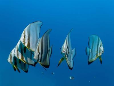 深海鱼类发出的声音如合唱团般洪亮