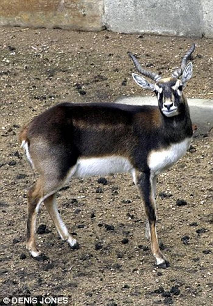 印度古吉拉特邦野生动物保护区6米巨蟒生吞蓝牛羚