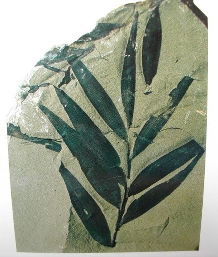 苏铁杉化石