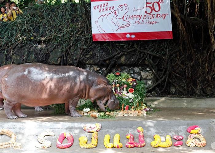 """泰国萱律实动物园庆祝园内河马""""玛丽""""50岁大寿"""