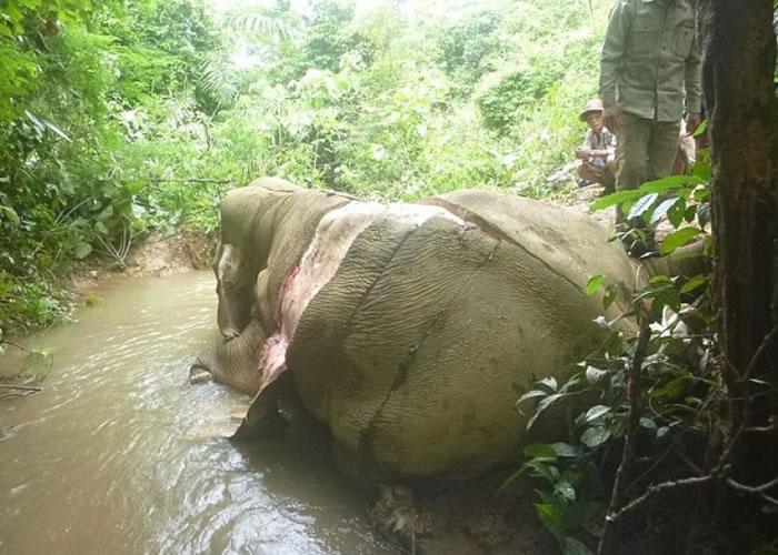 已死去的大象被割去部分象皮。