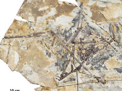辽宁建昌喇嘛洞下白垩统九佛堂组发现古翼手龙类新属新种:热河剪嘴翼龙