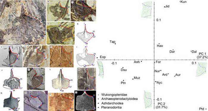 翼龙胸骨的几何形态分析 (蒋顺兴、汪筱林供图)
