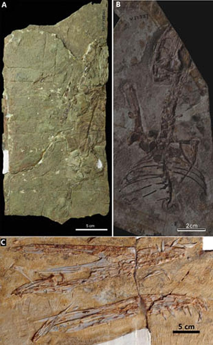 辽西地区新报道的翼龙化石。A,保存两枚蛋化石的鲲鹏翼龙未定种(Kunpengopterus sp.);B,悟空翼龙类的新材料;C,珍妮林龙翼龙(Linlongo