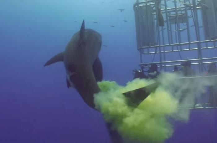 大白鲨朝防鲨笼游去 然后发起大便攻击