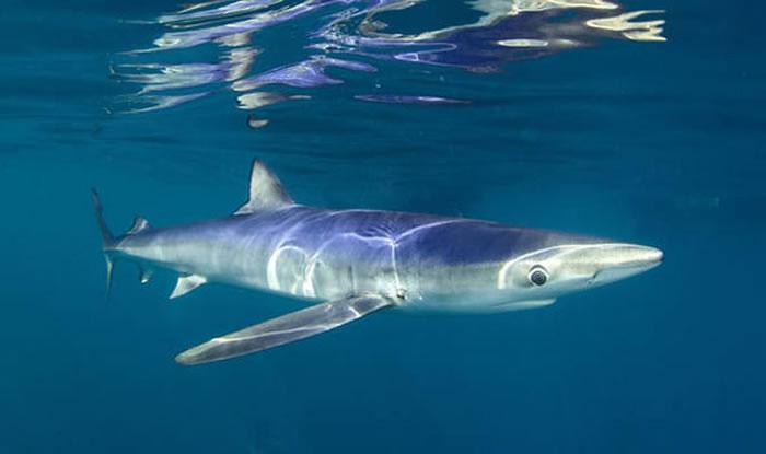 大青鲨英伦海峡觅食 与潜水员互动畅游