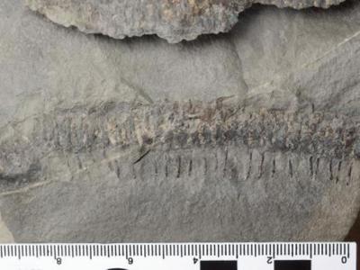 加拿大乔金斯化石断崖发现3亿年前远古多足虫新物种化石