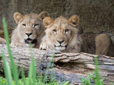 德国莱比锡动物园2只狮子脱逃 一只捉回一只被射杀