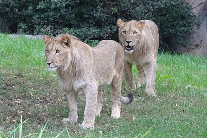 Motshegetsi及Majo上个月才抵达莱比锡动物园。