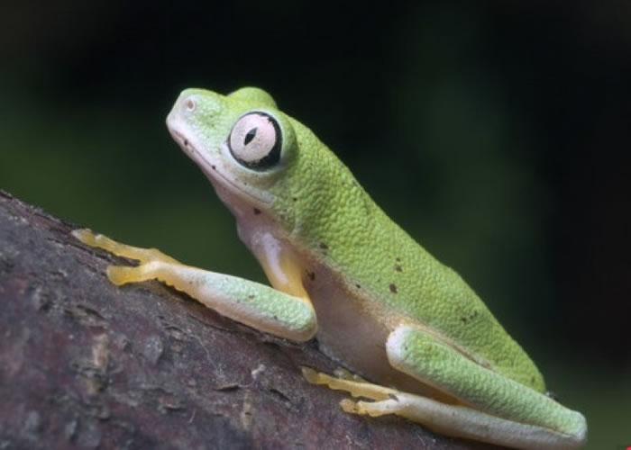 马达加斯加树蛙属极危物种。