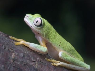 英国德文郡佩根顿动物园建人工雨林 成功培育出18只濒危马达加斯加树蛙