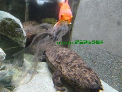 日本高知市动物园小金鱼躲在山椒鱼背后大口吸食脱下来的皮