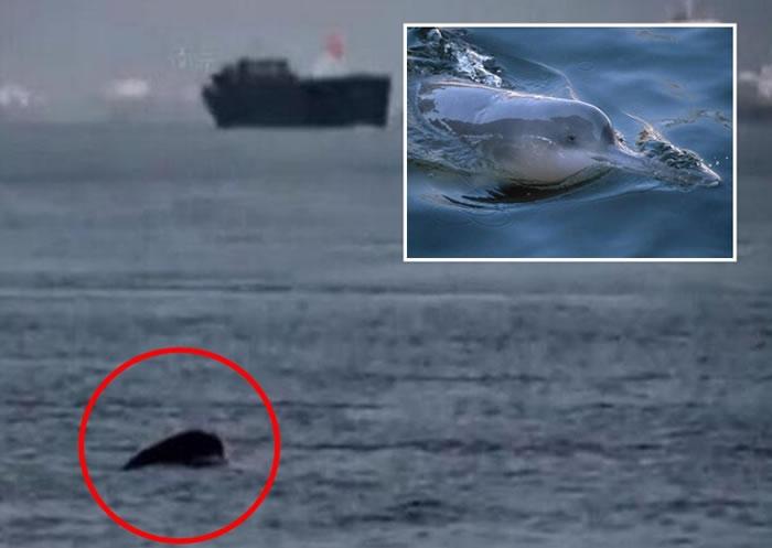 """""""长江女神""""白鱀豚曾被指已灭绝,但民间考察队前日在长江附近水域发现疑似白鱀豚的踪影。"""