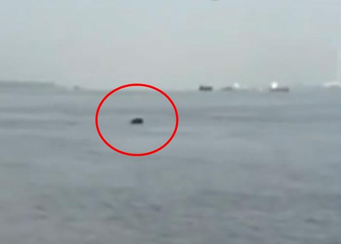 民间考察队在长江安徽芜湖黑沙洲附近水域,发现疑似白鱀豚出没。