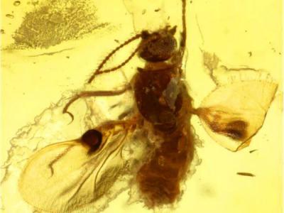 印度琥珀中发现5400万年前蠓虫化石