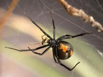 牡丹花下死?雄性寡妇蜘蛛可不这么想