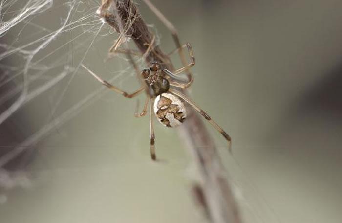 一只成年的红背寡妇蛛爬进了网子。 1996年安德拉德发现,如果雄性红背寡妇蛛牺牲自己,则能延长交配时间。 PHOTOGRAPH BY MCB ANDRADE 2
