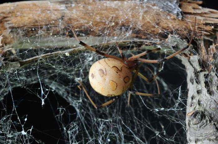 雄几何寇蛛会利用尖牙在雌蛛生殖道的外壳上开孔以进入生殖道。 PHOTOGRAPH BY MCB ANDRADE 2014