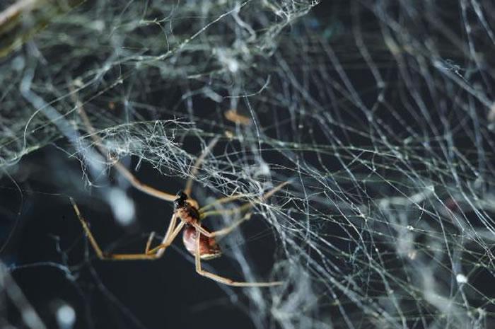 一只雌几何寇蛛正在补网。雄蛛在寻找成熟雌蛛的过程有有可能碰巧遇到了幼齿雌蛛的网。 PHOTOGRPAH BY MCB ANDRADE