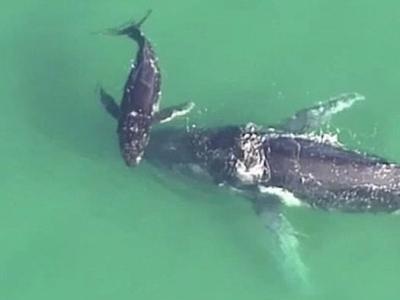 澳洲布里斯本母座头鲸不慎搁浅海滩 幼鲸在旁试图救助
