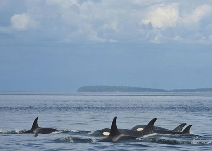 NOAA会在杀人鲸身上植入标记作追踪研究。